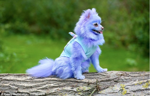 Our Dog Model Harvey Moon Is So Much Happier When He Is Dyed A Bright Colour
