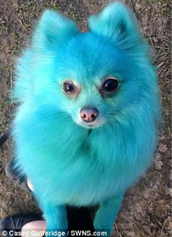 Our Dog Model Harvey Moon Dyed Bright Blue